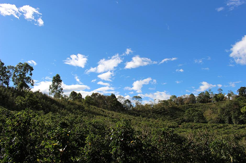 ベジャビスタ農園 コーヒー畑