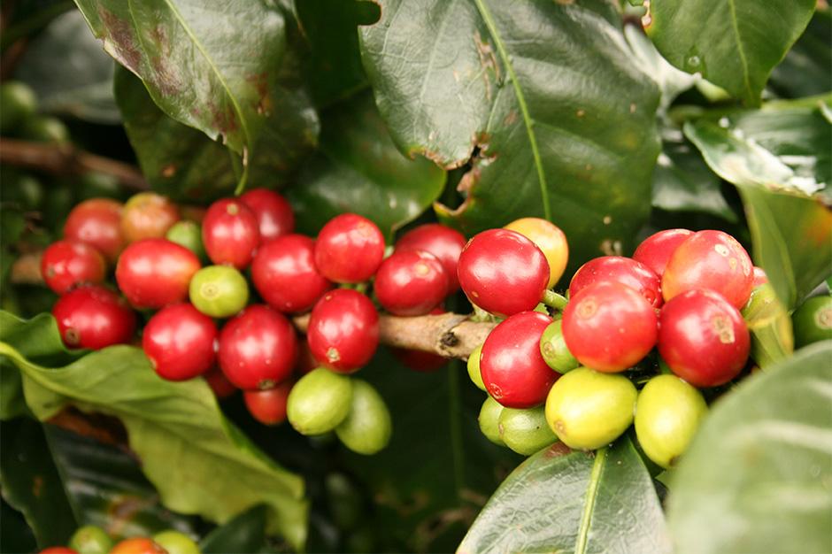 コーヒーチェリーと生豆、焙煎されたコーヒー豆