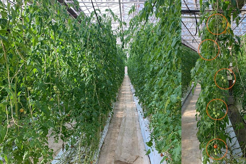 トマトの実が下から順に熟していく様