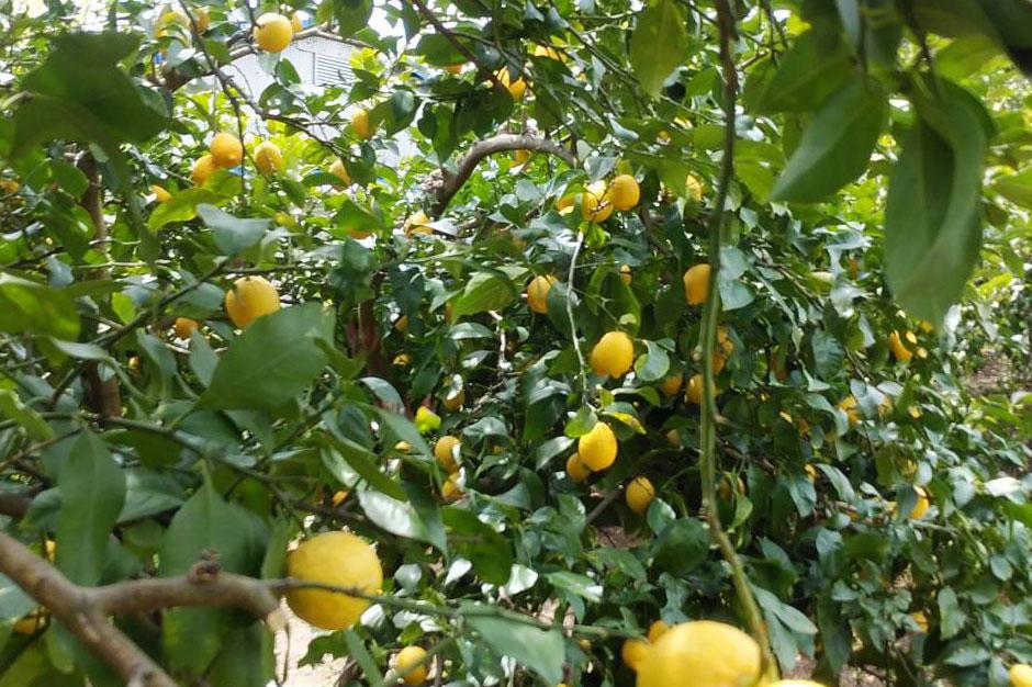 瀬戸内の穏やかな気候で育つレモン