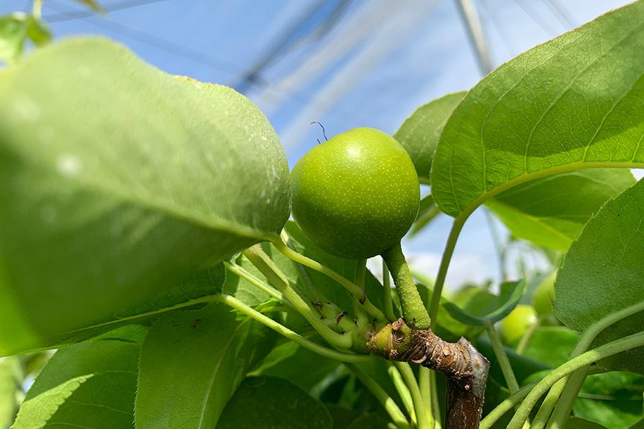 梨の膨らみかけの果実