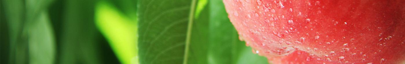 八旗農園 白桃 カット