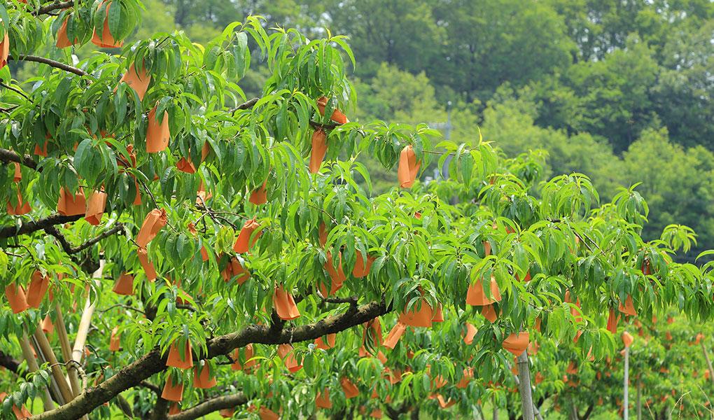 岡山の清水白桃 自然の中でエネルギーをたくわえます